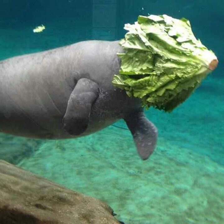 manatees lettuce